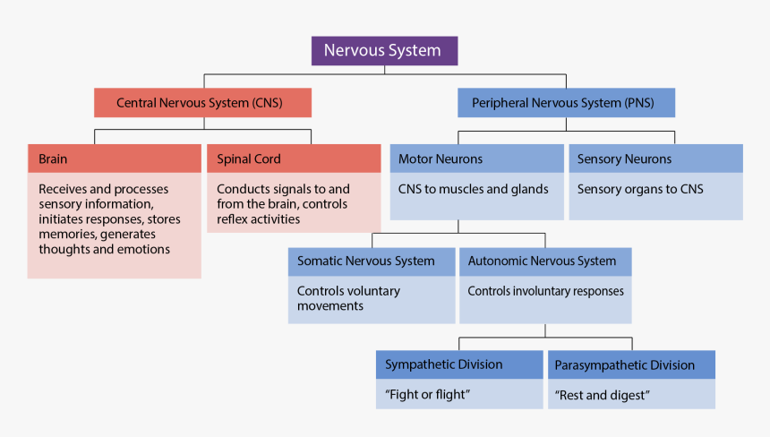 Divisions And Subdivisions Of The Nervous Syste - Interactive Activity Divisions Of The Nervous System, HD Png Download, Free Download