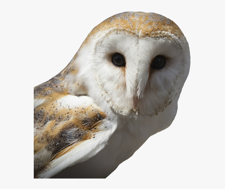 White And Brown Owl, HD Png Download, Free Download