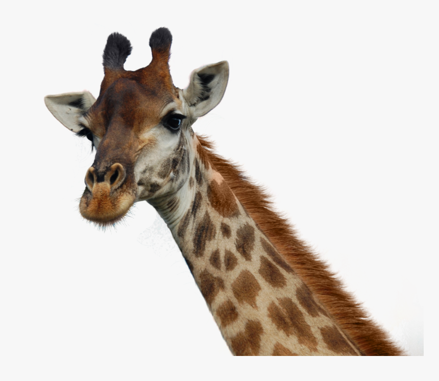 Giraffe Png Pic - Transparent Background Giraffe Head Png, Png Download, Free Download