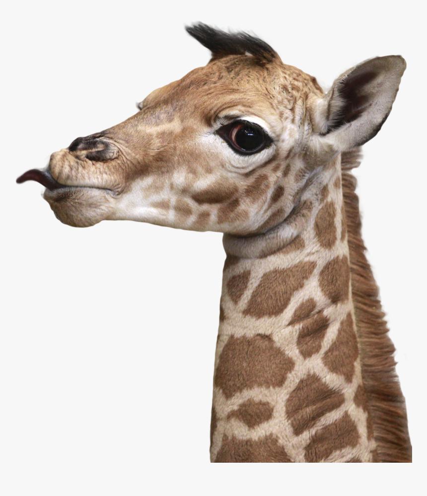 Transparent Giraffe Head Png - Giraffe Head Png, Png Download, Free Download