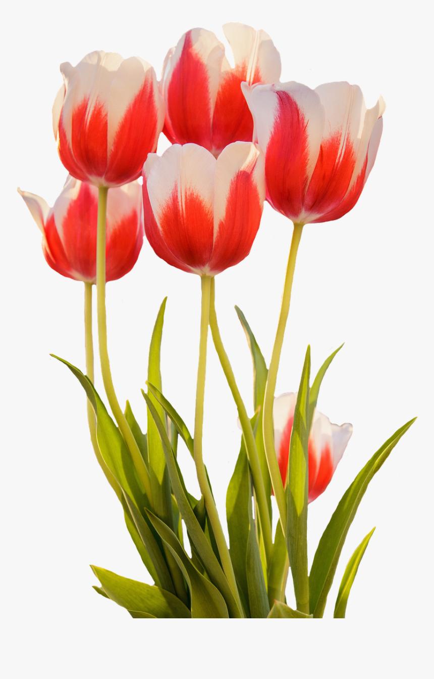 Gambar Bunga Tulip Mekar Hd Png Download Kindpng