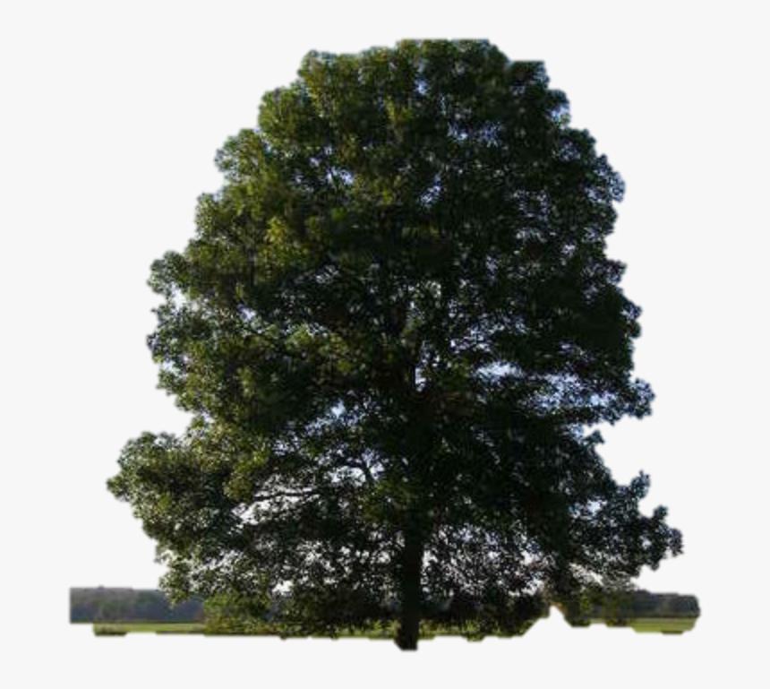 Cedar Elm Eastern Red Cedar Tree Dutch Elm Disease - Tree Tree, HD Png Download, Free Download