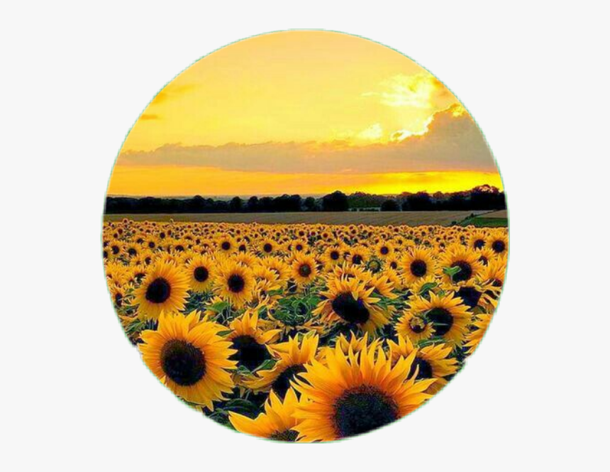 Circle Flower Sunflower Aesthetic Tumblr Photography Aesthetic Sunflower Field Hd Png Download Kindpng