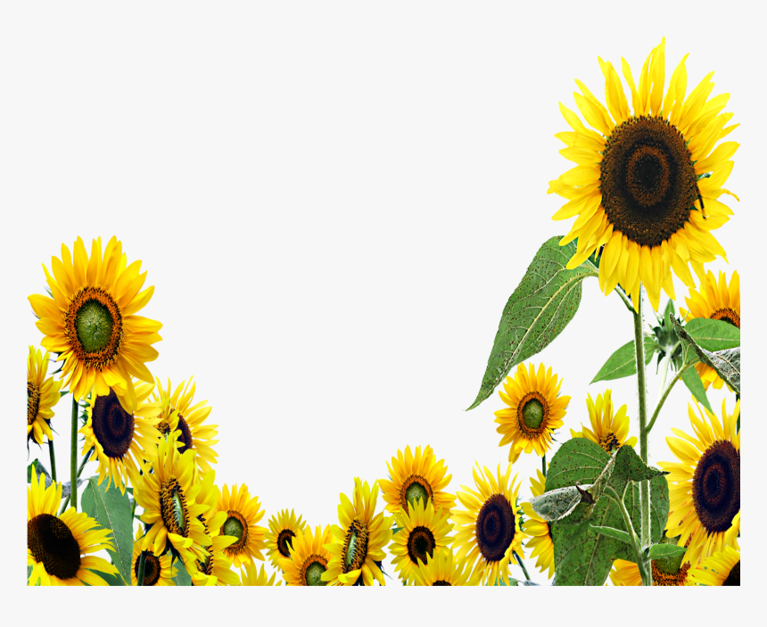 Girasoles Aesthetic Tumblr Sunset Sunflower Pictures Transparent Background Sunflower Clipart Hd Png Download Kindpng