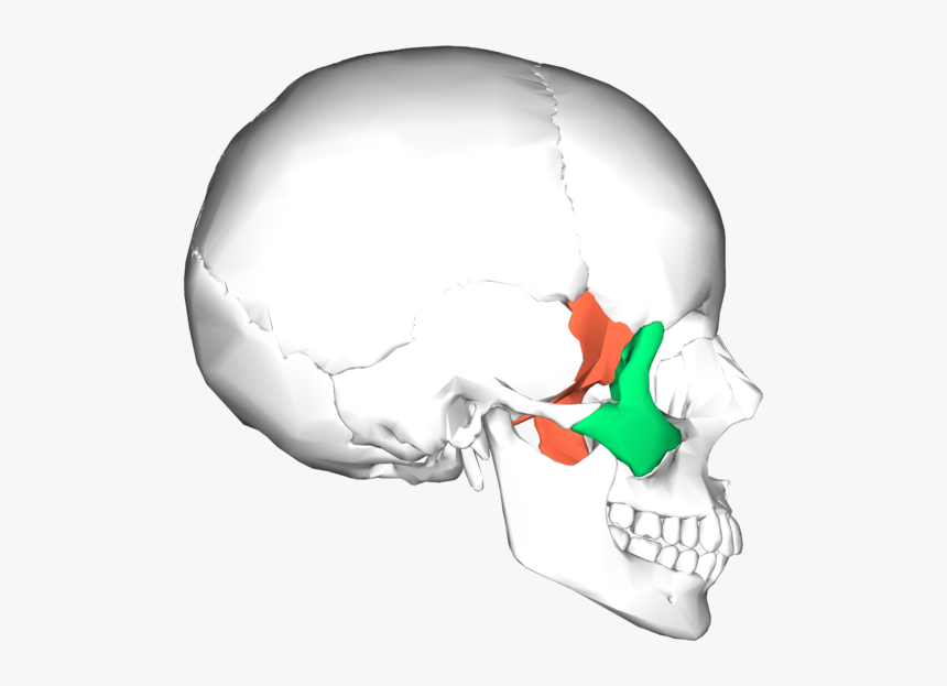 Sphenoid Bone And Zygomatic Bone - Sphenoid And Zygomatic Bone, HD Png Download, Free Download