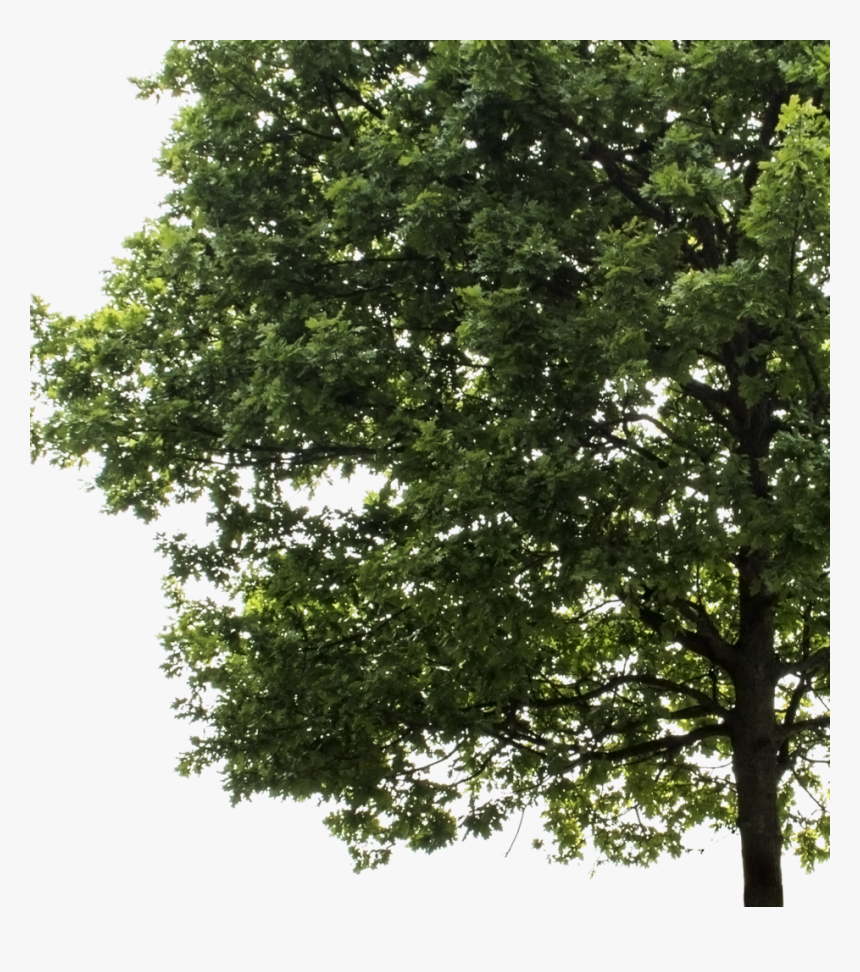 Large Tree Png, Transparent Png, Free Download