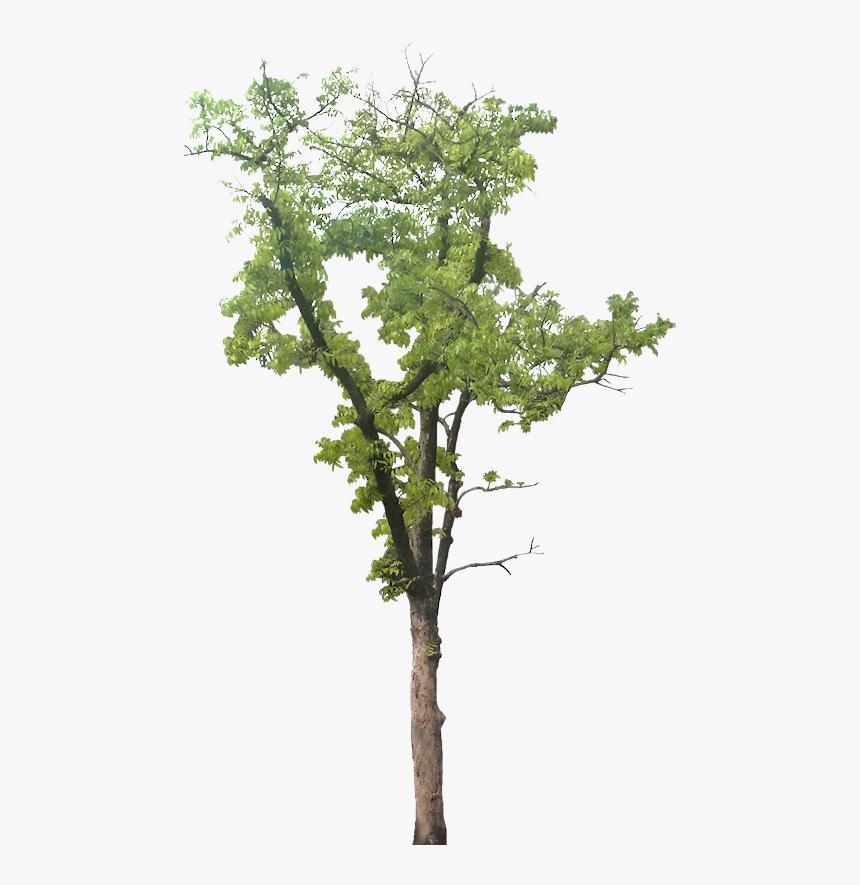 Large Tree Png, Transparent Png, Free Download