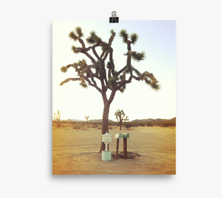Joshua Tree Png, Transparent Png, Free Download