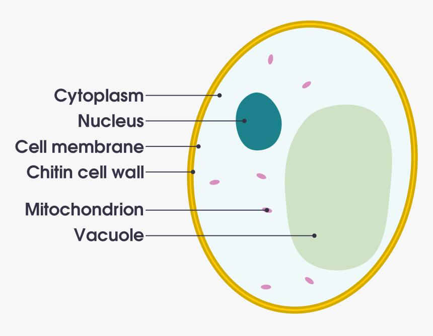Animal Cell Diagram Gcse , Png Download, Transparent Png ...