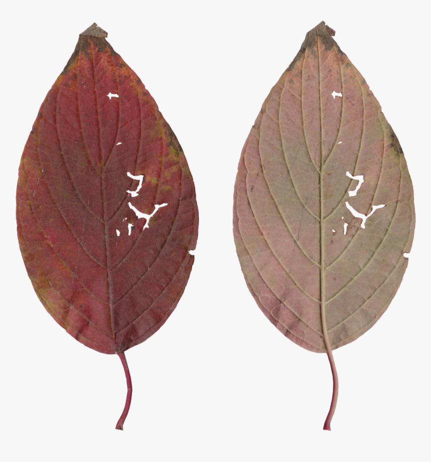 Transparent Leaf Texture Png, Png Download, Free Download