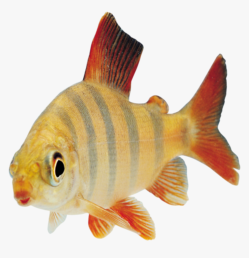 Fish Transparency, HD Png Download, Free Download