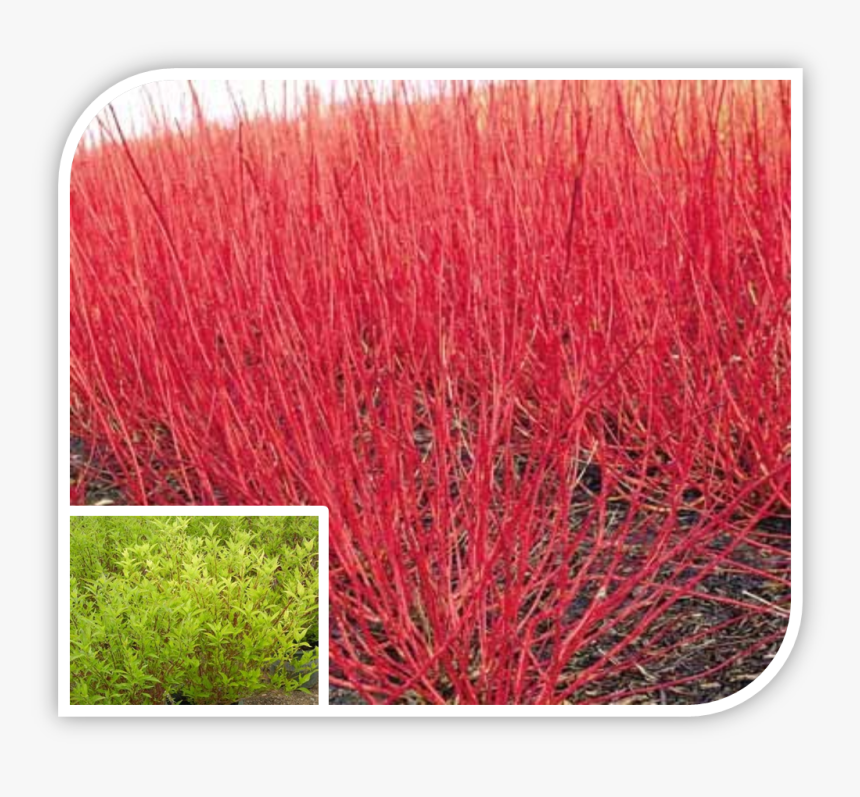 Picture - Redosier Dogwood, HD Png Download, Free Download