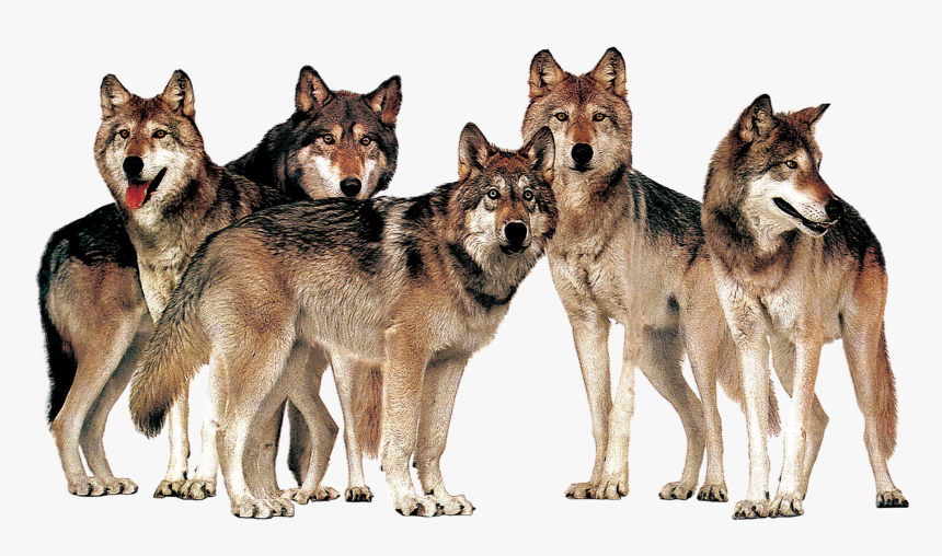 Pack Of Wolves Transparent Images - Wolf Pack Transparent Background, HD Png Download, Free Download