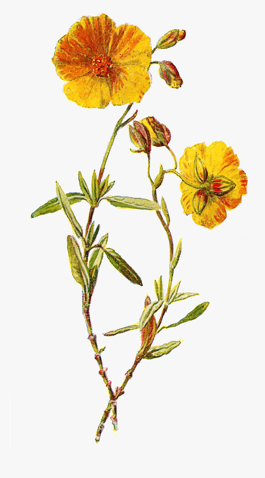 Transparent Wild Flowers Png - Wildflower Png, Png Download, Free Download