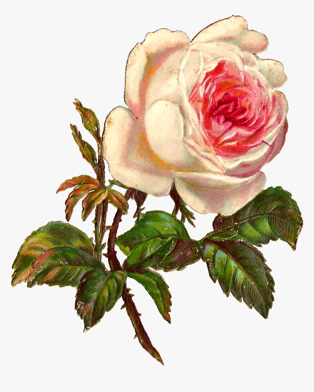 Flower,flowering Plant,garden � Family,plant,hybrid - Vintage Botanical Illustration Rose, HD Png Download, Free Download