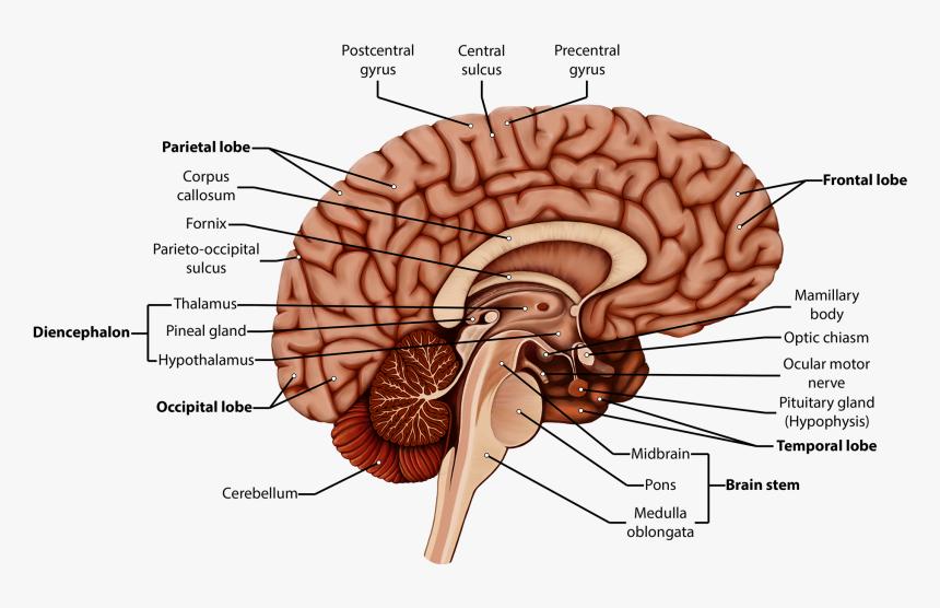 Brain Clipart Labeled - Diencephalon Brain Diagram Labeled ...