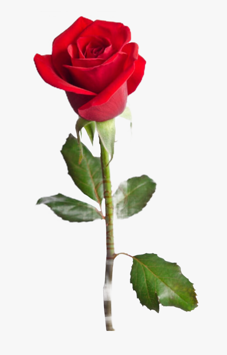 #rose #flower #red #sticker #thorns #leaves #floral - Love You Mom Happy Birthday, HD Png Download, Free Download