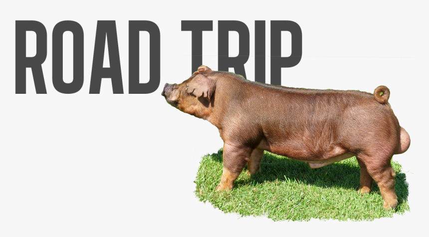 Domestic Pig, HD Png Download, Free Download