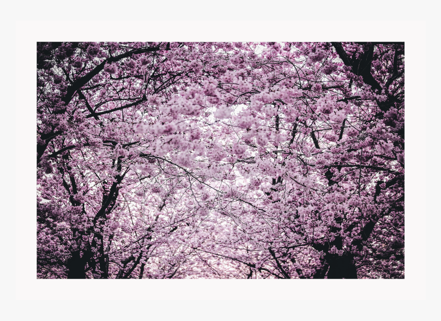 Cherry Blossom, HD Png Download, Free Download
