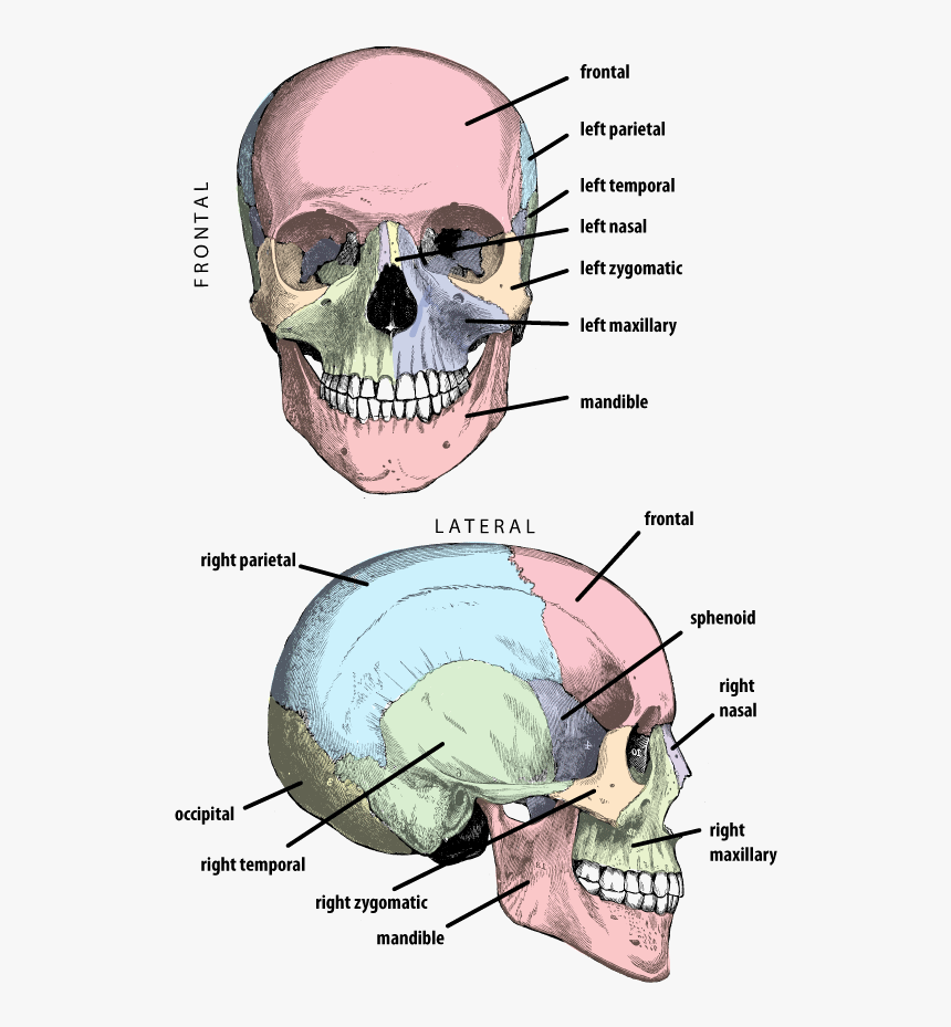 Cranium With Bones Labeled In Anterior And Lateral - Petrous Part Of Temporal Lobe, HD Png Download, Free Download