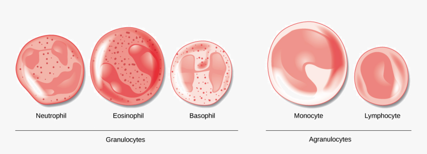 Transparent Blood Cut Png - Difference Between Granulocytes And Agranulocytes, Png Download, Free Download