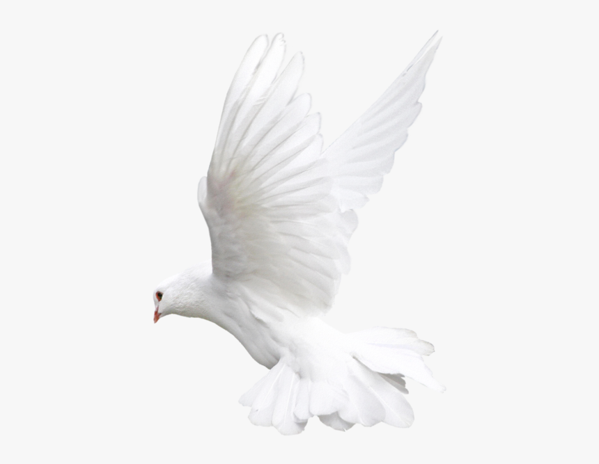 Pigeon White Background Flying Transparent - White Dove Png Transparent, Png Download, Free Download