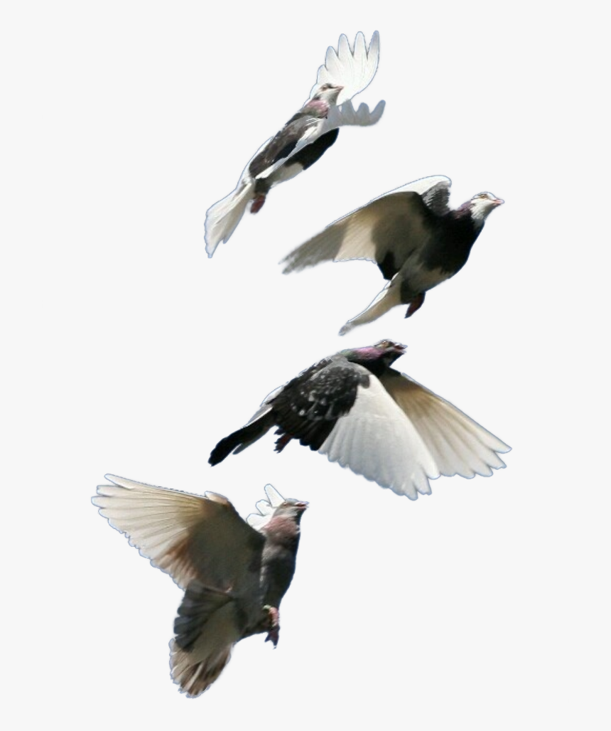 Pigeon Bird Fly Goodmorning Pigeon Flock Hd Png Download Kindpng