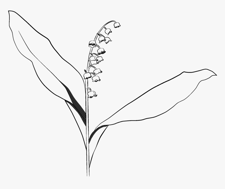 Lily Of The Valley - Lily Of The Valley Drawing Transparent, HD Png Download, Free Download