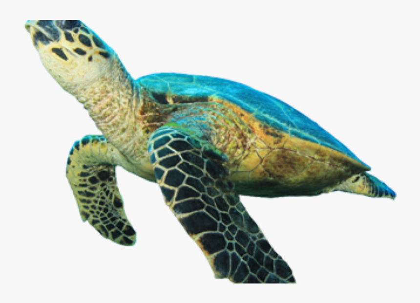 Clip Art Sea Turtle Images - Green Sea Turtle White Background, HD Png Download, Free Download