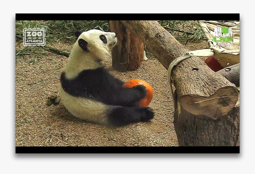 Animal Planet Panda, HD Png Download, Free Download