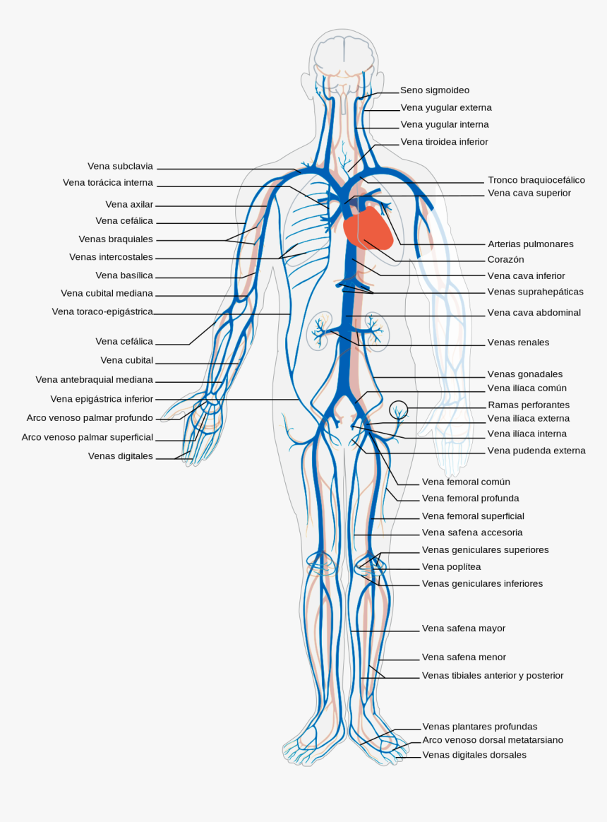 Body Veins, HD Png Download, Free Download