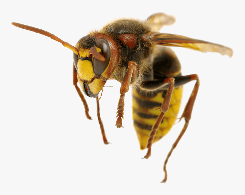 Hornet, HD Png Download, Free Download