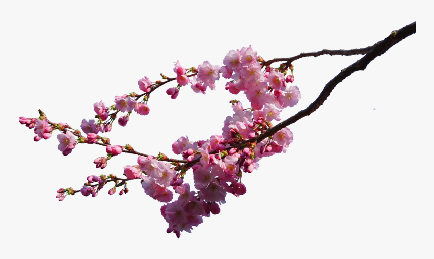 Cherry Blossom Branch Png, Transparent Png, Free Download