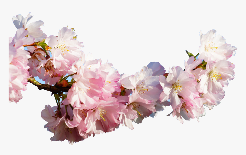 Clip Art Prunus Serrulata Cherry Blossom - Japanese Real Cherry Blossom Tree Branch, HD Png Download, Free Download
