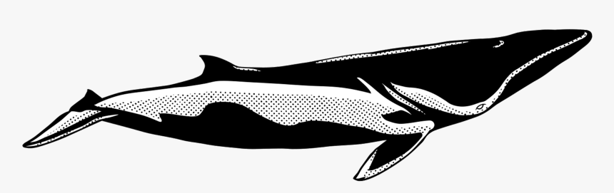 Transparent Whale Tail Png - Zwergwal, Png Download, Free Download