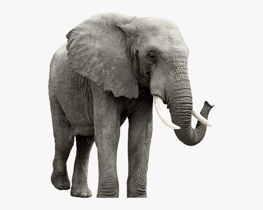 Elephant Transparent Background Hd Png Download Kindpng Lovepik provides 32000+ elephant png photos in hd resolution that updates everyday, you can free download for both personal and commerical use. elephant transparent background hd png