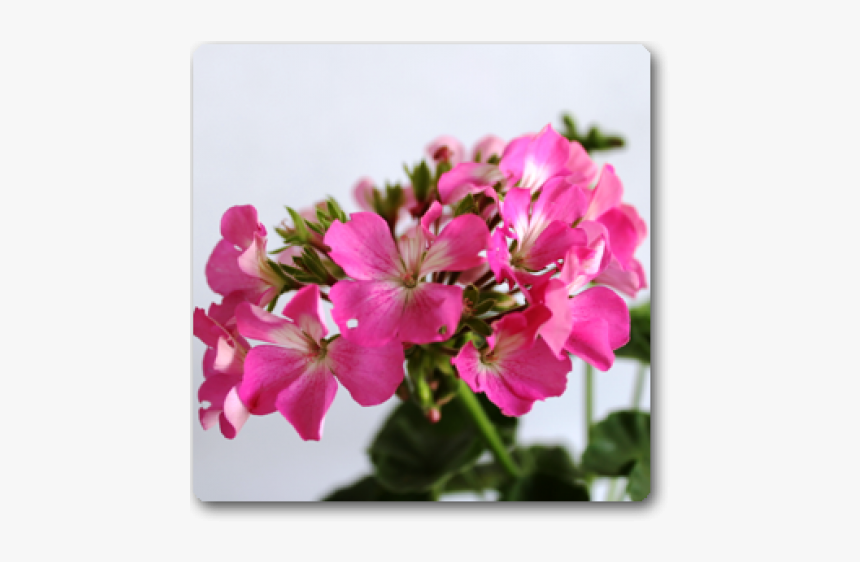 Peruvian Lily, HD Png Download, Free Download