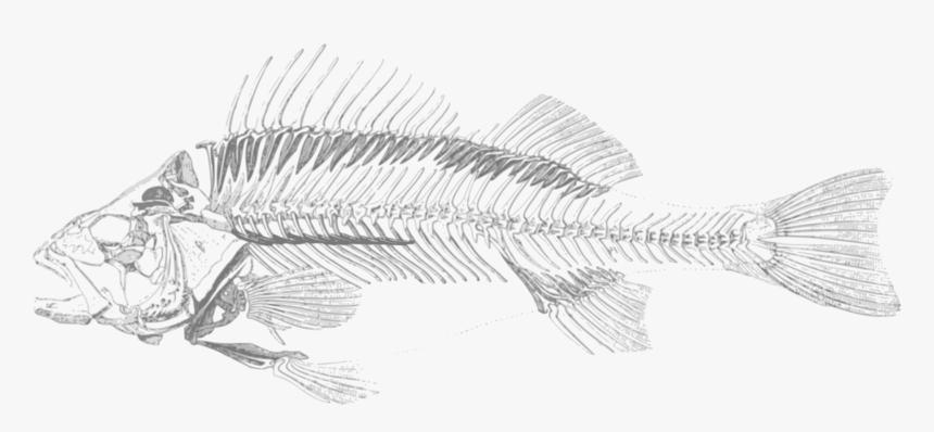 Perch,line Art,fish - Fish Skeleton Transparent Background, HD Png Download, Free Download