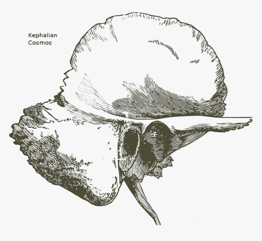 Human Temporal Bone - Temporal Bone Black And White, HD Png Download, Free Download