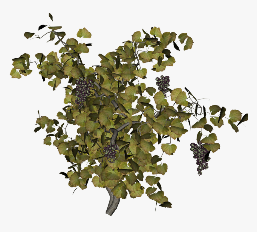 Grape Vine Png - Top View Tree Png, Transparent Png, Free Download