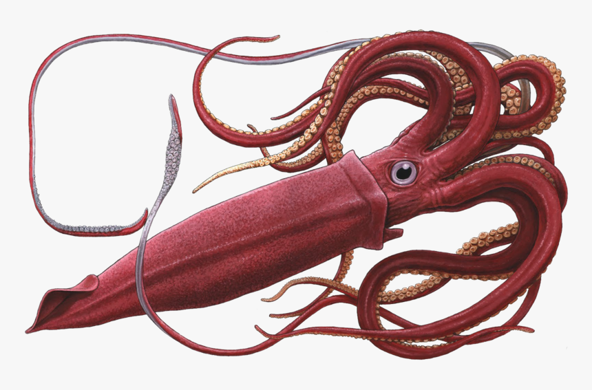 Giant Squid White Background, HD Png Download, Free Download