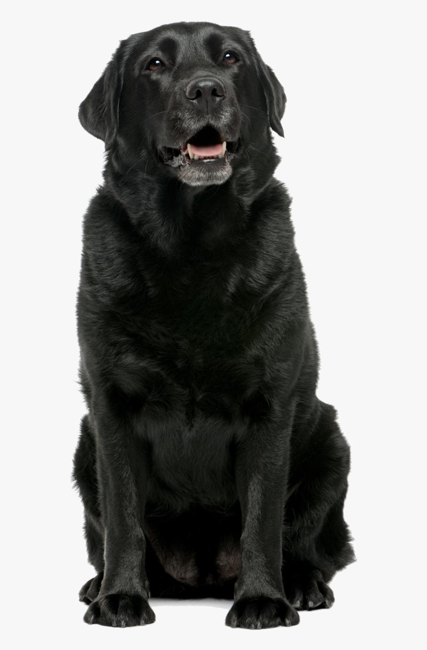 Black Lab Png Black Labrador Retriever Sitting Transparent Png Kindpng