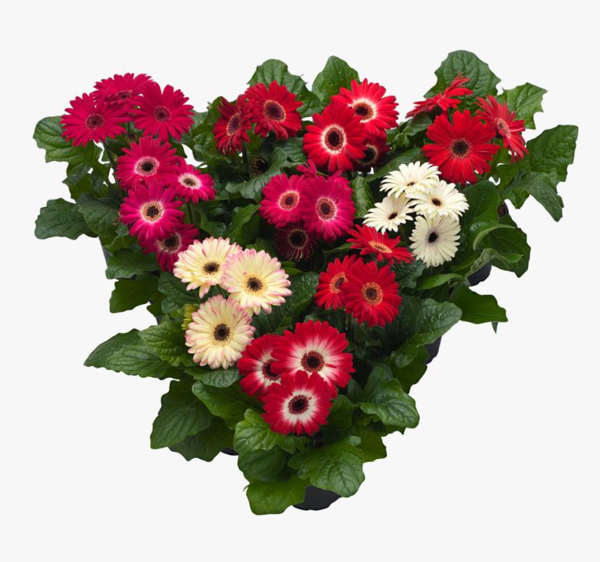 Hilverdaflorist - Pot Gerbera - Winter Mix - Bouquet, HD Png Download, Free Download