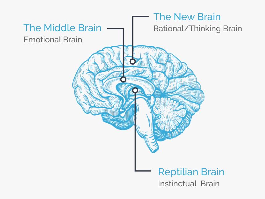 Human Brain Png Cartoon, Transparent Png, Free Download