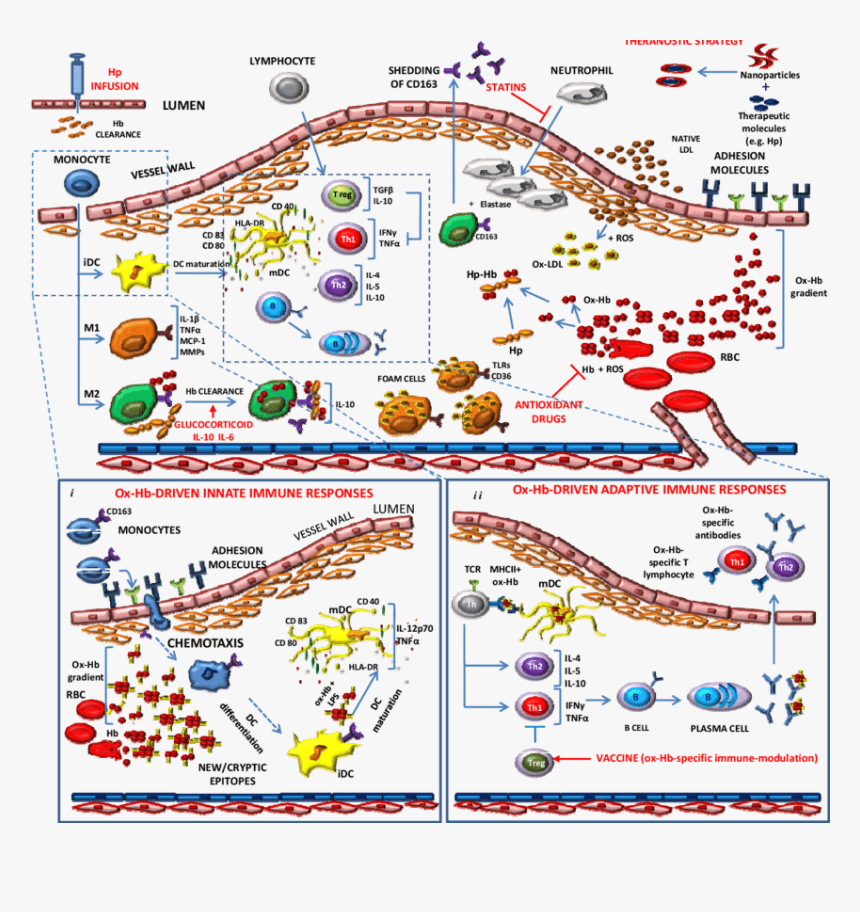 Schematic Representation Of Endothelial Dysfunction - Endothelial Dysfunction Atherosclerosis Immuno, HD Png Download, Free Download