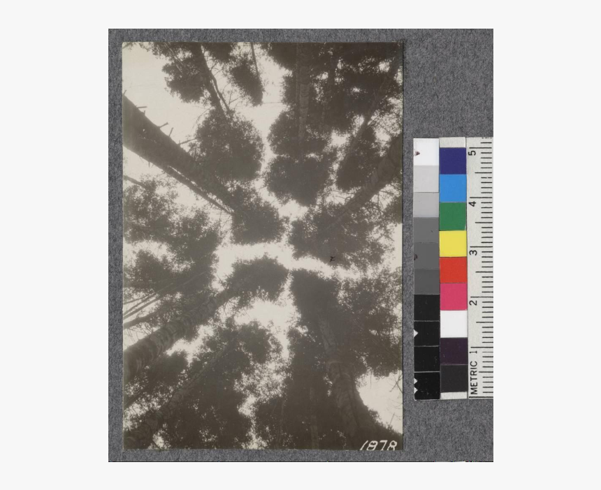Secondgrowth Redwood Yield Study - Carpet, HD Png Download, Free Download