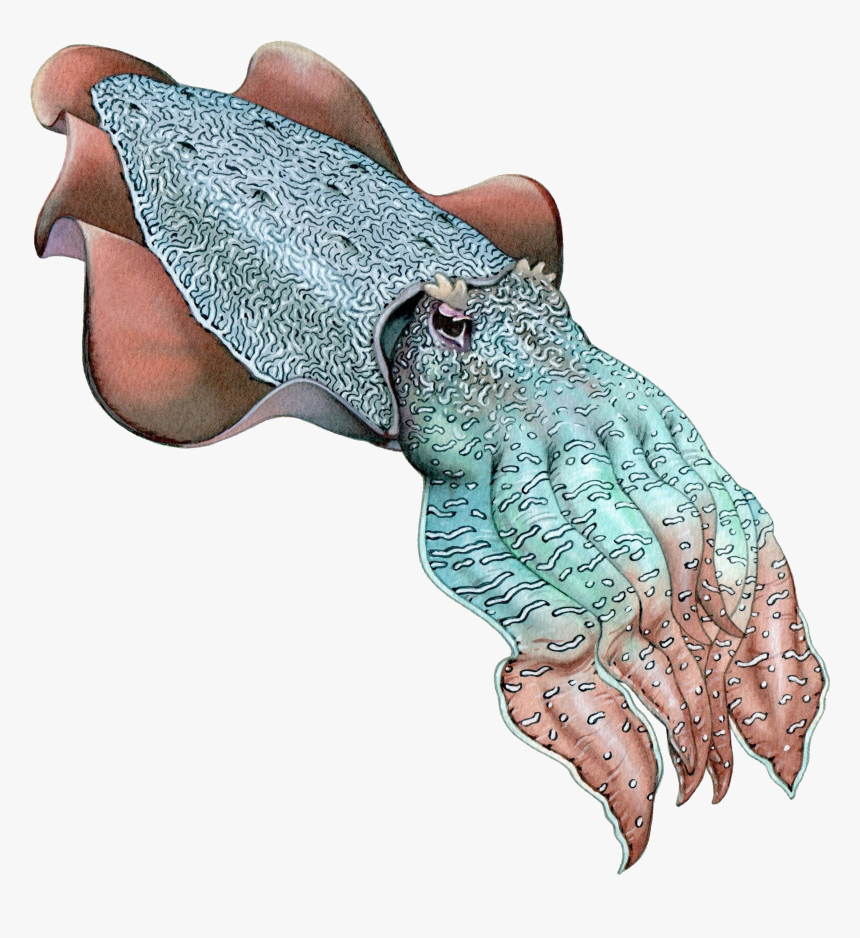 Southern Squid Sand Octopus Cuttlefish - Cuttlefish, HD Png Download, Free Download