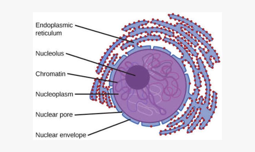 Nucleus Transparent Cell - Animal Cell Nucleus Diagram, HD ...