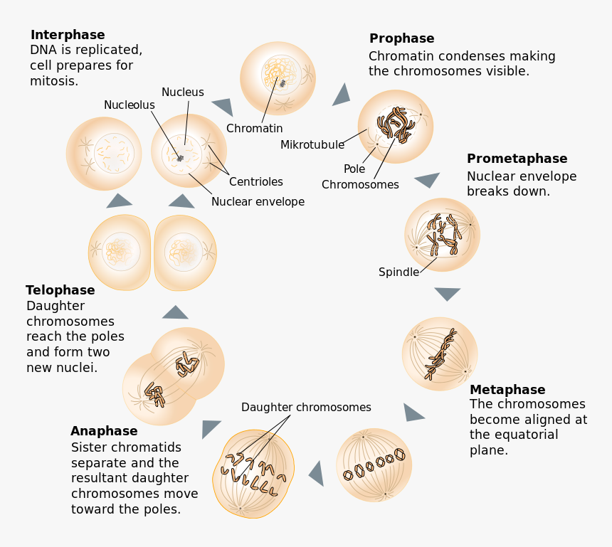 Difference Between Mitosis And Meiosis - Between Prophase And Metaphase, HD Png Download, Free Download
