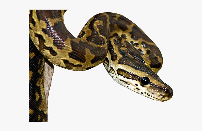 Python Vs Venomous Snake, HD Png Download, Free Download